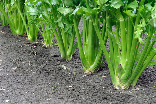 close-up of celery plantation (leaf vegetables)  in the vegetable garden