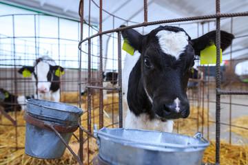 Cute little calf in individual enclosure. Nursery on a farm.