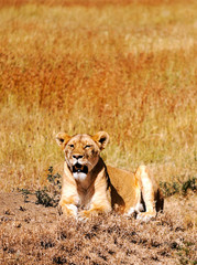 Lions in Tanzania on a clear day
