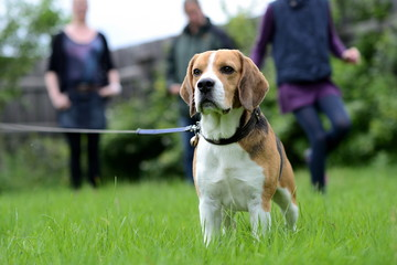 Hund Beagle an der Leine mit glücklicher Familie im Hintergrund
