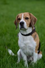 Einzelner Beagle schaut Treu, freigestellt auf grünem Gras