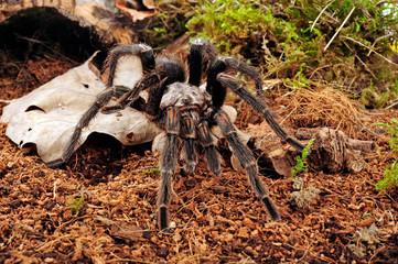 Chilenische Vogelspinne (Euathlus sp. Green) - tarantula from Chile