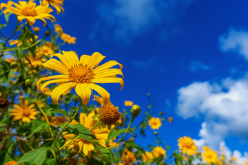 Wall Mural - Tree marigold or Mexican flower blooming and blue sky.