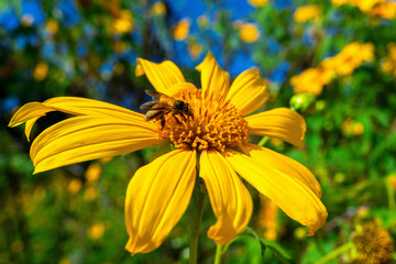 Wall Mural - Bee on Tree marigold or Mexican flower blooming and blue sky.