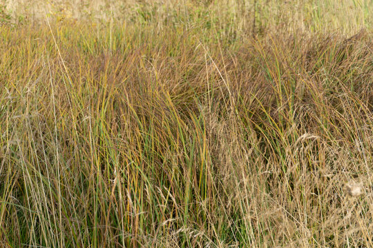 Little bluestem on a cloudy Autumn day. Also known as Schizachyrium scoparium or beard grass, it is a North American prairie grass native to most of the United States. In the fall it .