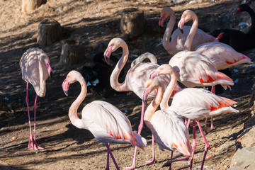 Beautiful Greater flamingo birds or Phoenicopterus roseus