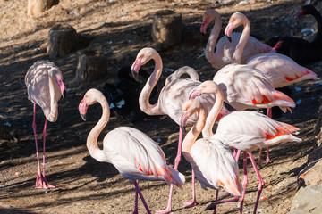 Beautiful Greater flamingo birds or Phoenicopterus roseus