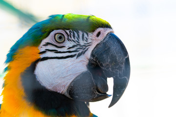 Portrait of Blue-and-yellow macaw or Ara ararauna close up