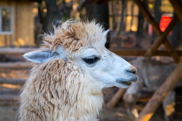 Portrait of cute white alpaca or Vicugna pacos