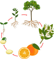 Life cycle of orange tree. Plant growth stage