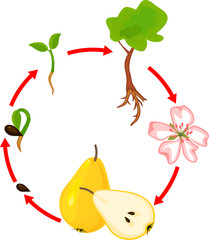 Life cycle of pear tree. Plant growth stage