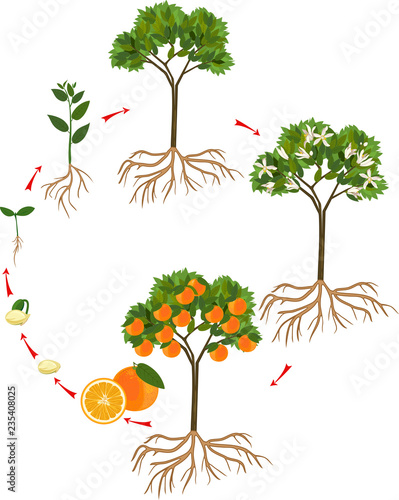 U0026quot Life Cycle Of Orange Tree  Stages Of Growth From Seed And
