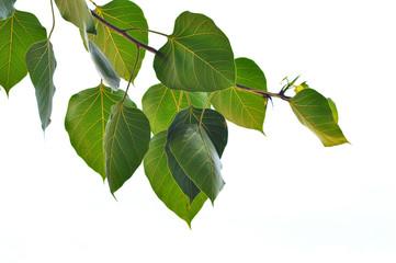 bodhi leaf isolated / green bodhi leaf tree isolated on white background