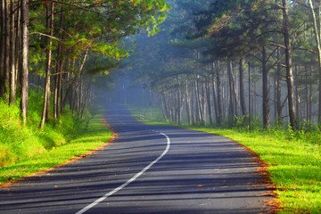 Beautiful road through pine forest