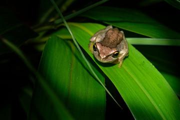 Southern Brown Tree Frog - Litoria ewingi, whistling tree frog or Ewing's tree frog, species of tree frog native to Australia