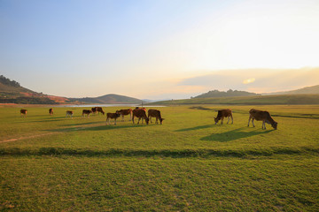 Cows grazing on a green summer field at sunny day