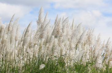 Ornamental grass in the autumn.