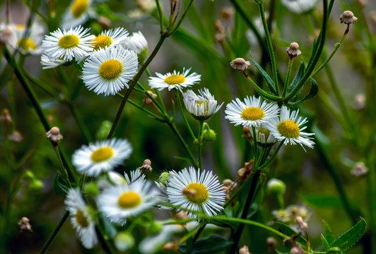 Flowers of a beautiful roman chamomile.