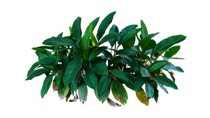 Wall Mural - Dark green leaves of Heliconia the tropical foliage plant bush growing in wild isolated on white background, clipping path included.