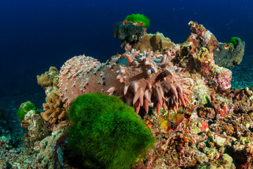 A spiky Sea Cucumber on a tropical coral reef