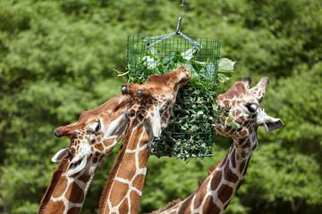 giraffe in cattività si nutrono di foraggio