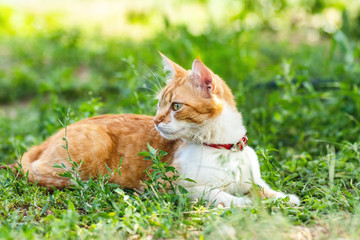 Cute funny red white cat in red collar on the green grass in the summer garden
