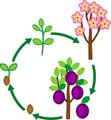 Life cycle of plum tree. Plant growth stage from seed to tree with fruits