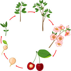Life cycle of cherry tree. Plant growth stage
