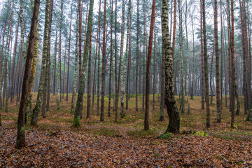 Keuken foto achterwand Bos in mist beautiful birch tree trunks, branches and leaves in natural environment