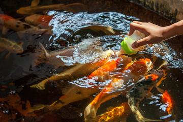 Feed fish.