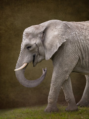 Foto op Canvas Olifant Elephant for digital composites suitable for baby photoshop