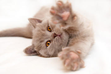 Gentle kitten stretches lying on a light background, British lilac kitten with orange eyes.