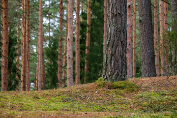 evergreen forest with spruce and pine tree under branches