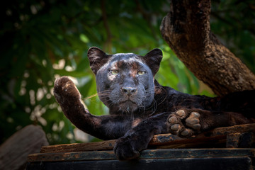 Photo sur cadre textile Panthère black panther
