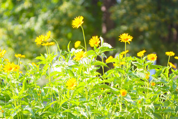 Beautiful, blurred summer background, soft focus. Elegant, delicate, yellow flowers with green leaves and stems. The concept of a blossoming glade in the open air. Horizontal image. Selective focus