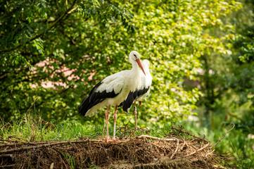 Weißstorch- Paar im Nest