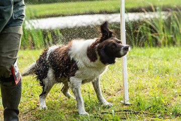 Acrylic Prints Dog Dutch partridge dog, Drentse patrijs hond, shaking to get rid of water in his fur with water splashing everywhere in the sunlight