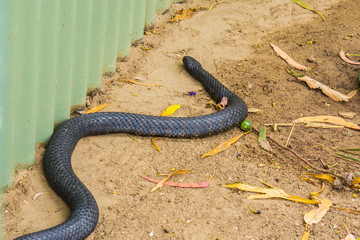 black and yellow coloured Tasmanian tiger snake near a garden shed
