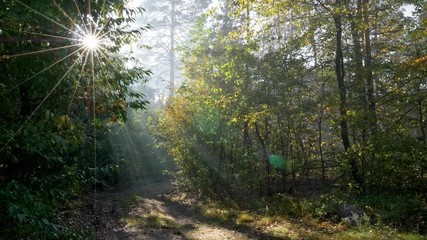 Wall Mural - Sun rays coming through trees in an autumn forest. Gimbal shot. Walking along a forest trail