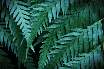 Exotic Tropical Fern Leaves Foliage in Dark Tone Color as Natural Texture Background