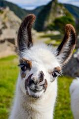 Foto op Aluminium Lama alpaca llama lama in machu picchu perú smiling