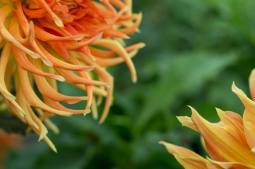Orange dahlia flower on the bush