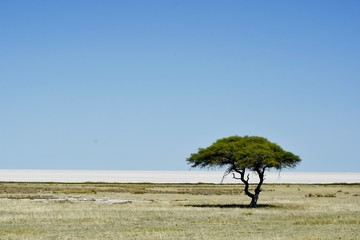 camel thorn tree in the Etosha salt pan
