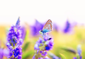 butterfly pigeon sitting on a summer evening meadow surrounded by blue flowers