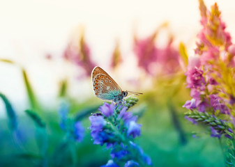beautiful little butterfly pigeon sitting on a summer glade surrounded by blue flowers on a Sunny day
