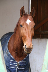 Close up of a thoroughbred horse in stable at rural horse stud farm indoors
