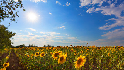 Blooming sunflower field in backlight against a blue sky and bright sun