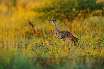 Fotomurales - Kori bustard, Ardeotis kori, largest flying bird native to Africa. Bird in the grass, evening light, Okavango delta, Moremi, Botswana. Wildlife scene from African nature. Bird in the grass habitat.