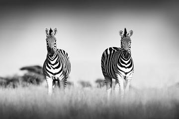 Zebra with clear sky. Black and white art photo. Burchell's zebra, Equus quagga burchellii, Nxai Pan National Park, Botswana, Africa. Wild animal on the meadow. Wildlife nature, African safari.