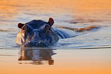 Hippo in the water. African Hippopotamus, Hippopotamus amphibius capensis, with evening sun, animal in the nature water habitat, Botswana, Africa. Wildlife scene from nature. Evening sunset.